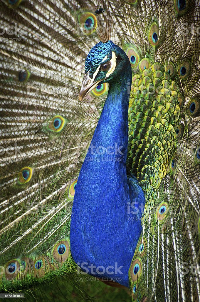 Close up of  Peacock Displaying royalty-free stock photo