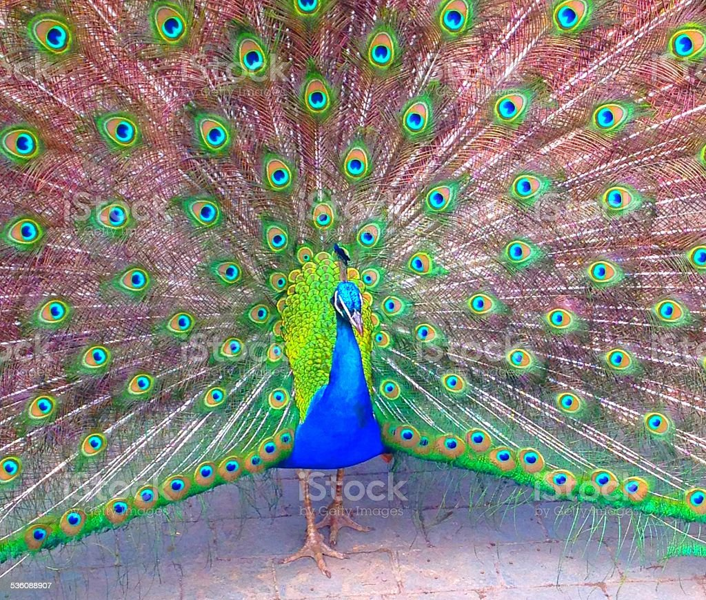 Close up of Peacock in full flair stock photo