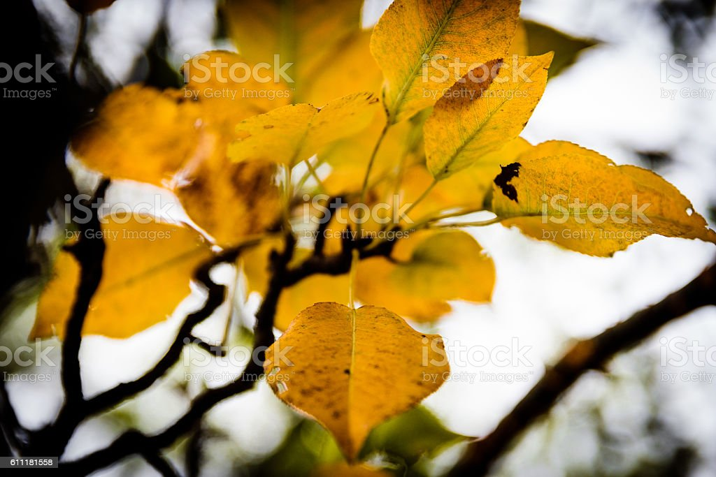Close up of Pear Tree Leaf in Autumn stock photo