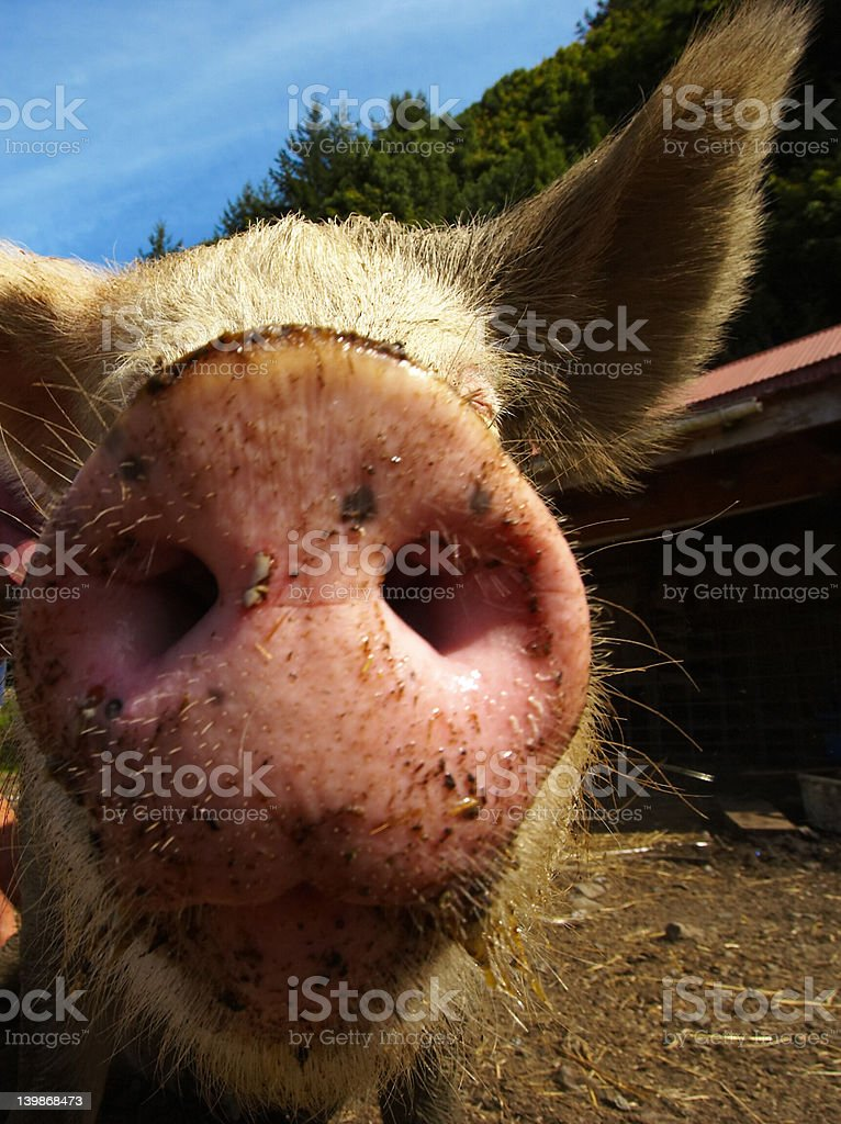 Close up of Pig snout stock photo