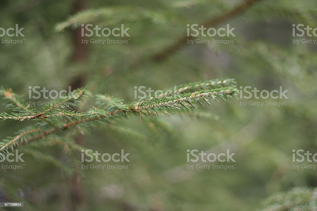 Close up of Pine Needles royalty-free stock photo