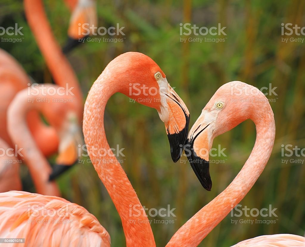 Close up of Pink American flamingos forming a heart. stock photo