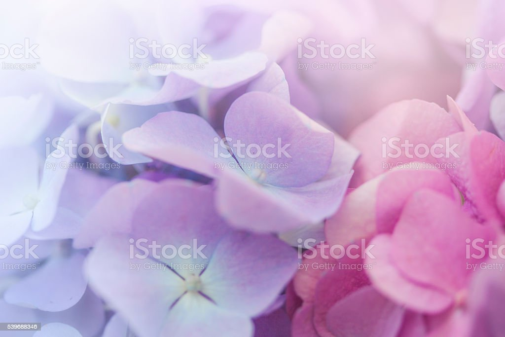 Close up of Pink  and Blue Hydrangea flower stock photo