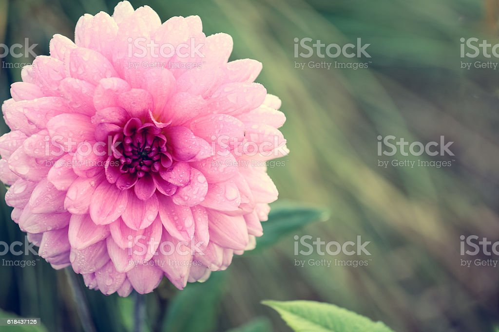 Close up of pink Aster flower stock photo