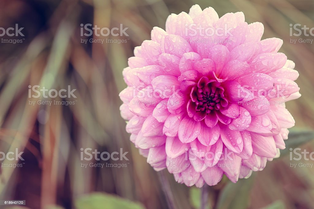 Close up of pink Aster or dahlia flower stock photo
