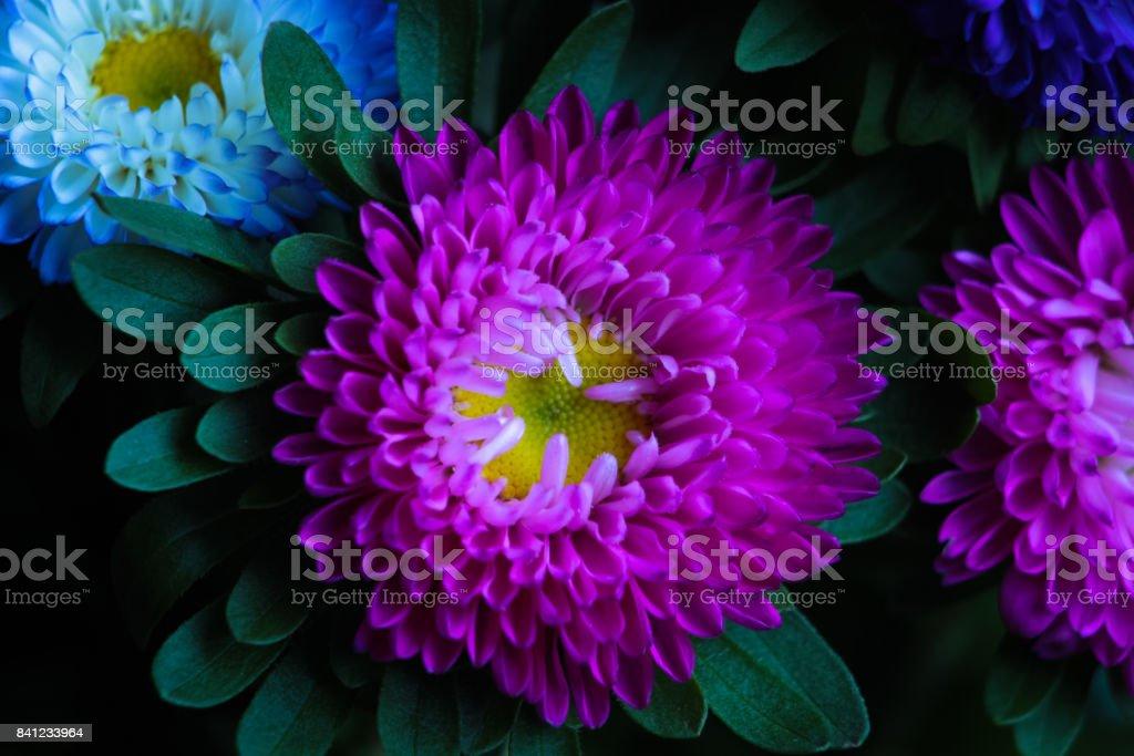 Close up of pink Chrysanths (Chrysanthemum). stock photo