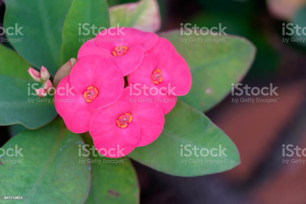 Close up of pink Crown of Thorns flowers stock photo