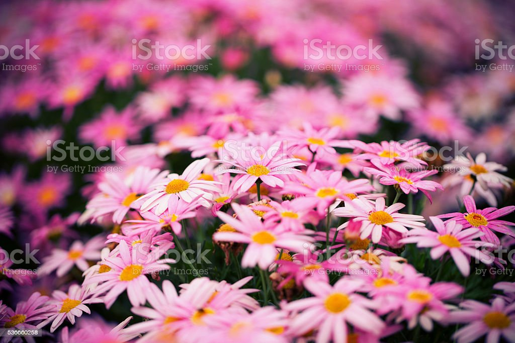 Close up of pink daisy background in spring stock photo