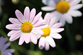 Close up of pink daisy flowers in sunshine light.