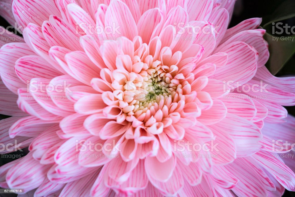 Close up of pink flower aster stock photo