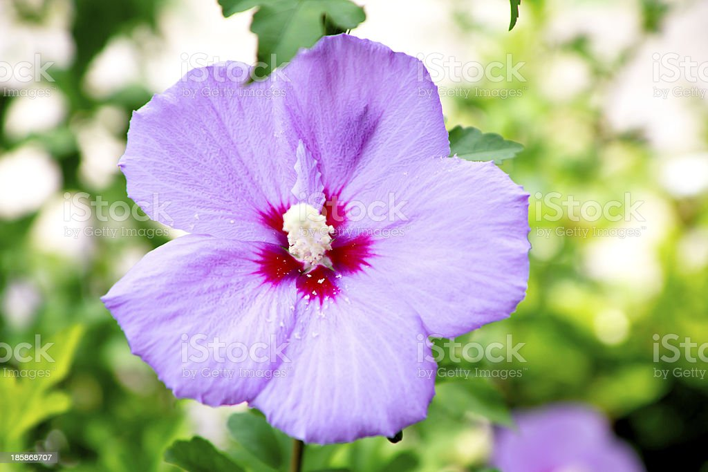 Close up of pink hibiscus flower royalty-free stock photo