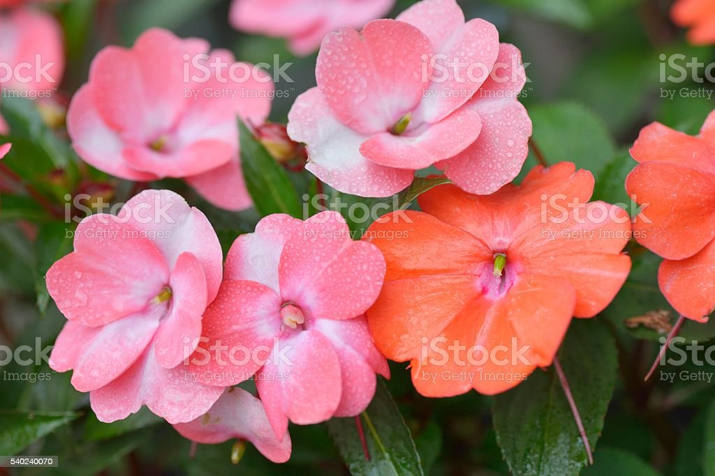 Close up of Pink Impatiens Flowers with Water Drops stock photo