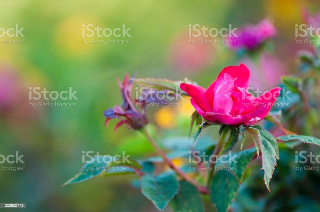 Close up of pink knock out rose with copy space. stock photo