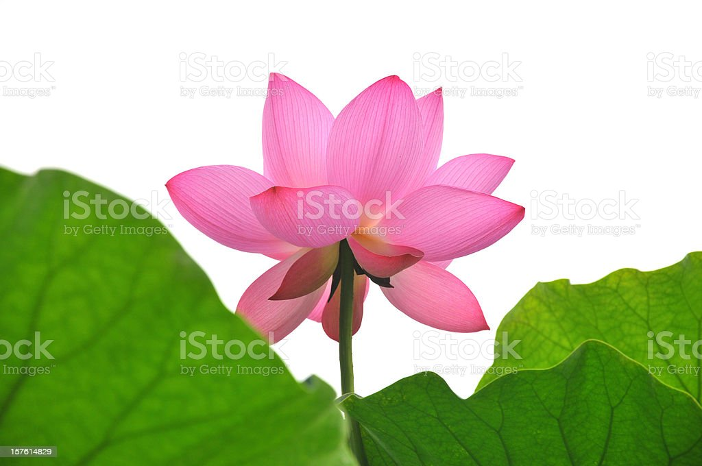 Close up of pink lotus stock photo