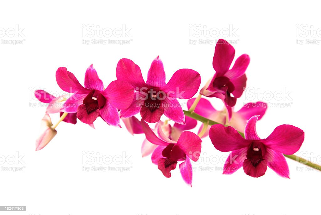 Close up of pink orchid flowers on white background stock photo