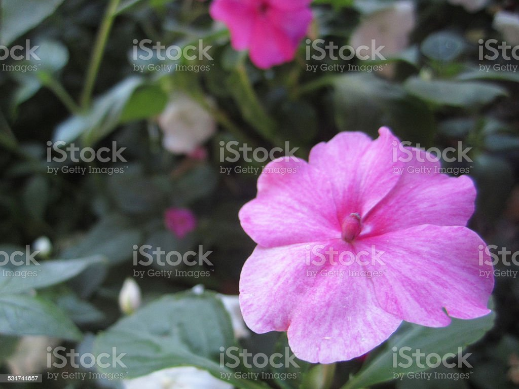 Close Up Of Pink Periwinkle Flower Stock Photo 534744657 Istock