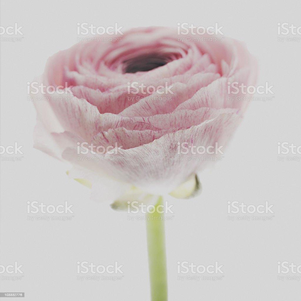 Close up of pink ranunculus royalty-free stock photo