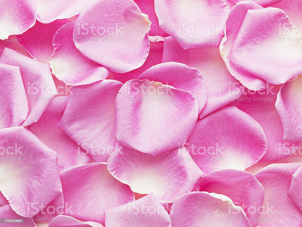Close up of pink rose petals stock photo