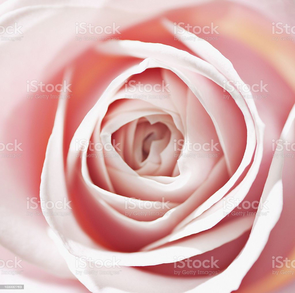 Close up of pink rose royalty-free stock photo