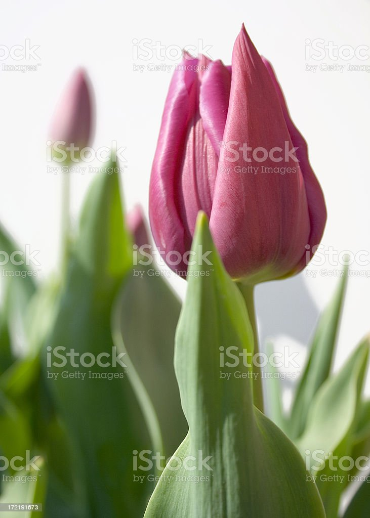 close up of pink tulip on white background royalty-free stock photo