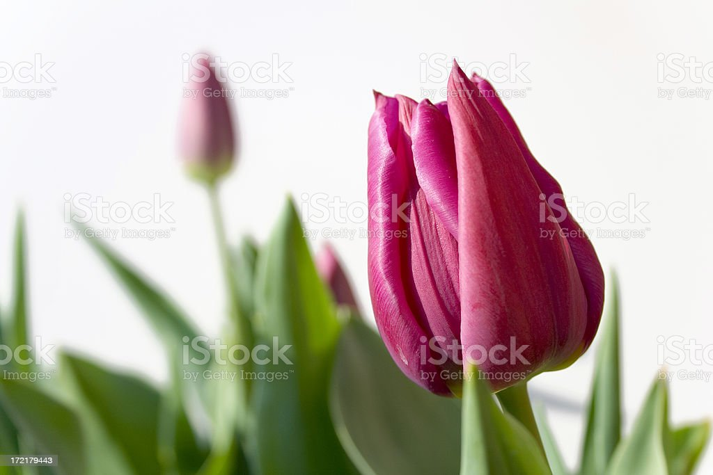 close up of pink tulip royalty-free stock photo