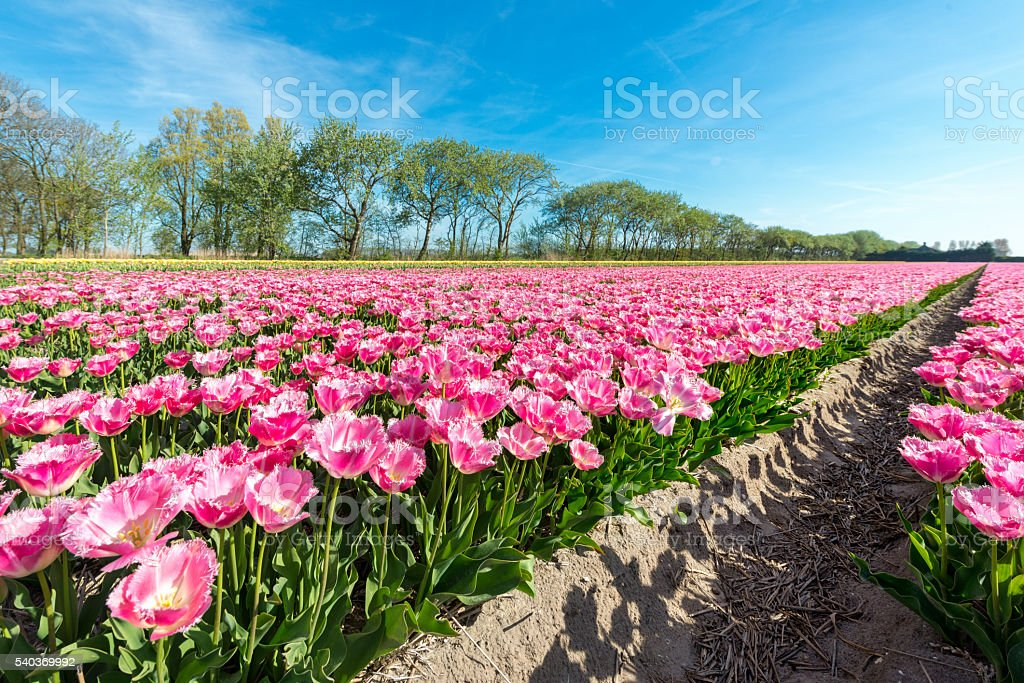 close up of Pink tulips stock photo
