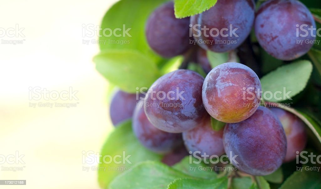 Close up of plums on a tree with green leaves stock photo