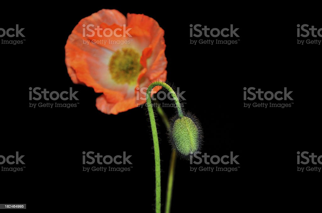 Close up of poppy flower royalty-free stock photo