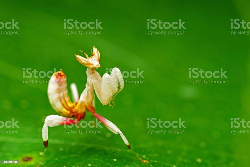 Close up of preying mantis on a green leaf stock photo