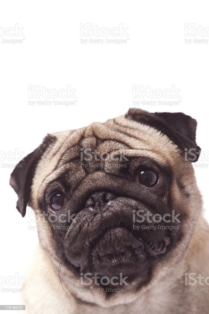 Close Up of Pug Face royalty-free stock photo