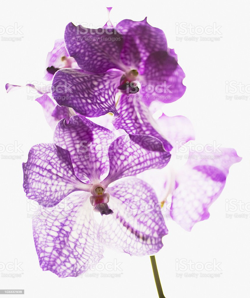 Close up of purple and white orchids stock photo