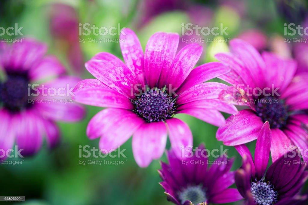 Close up of purple daisy background stock photo