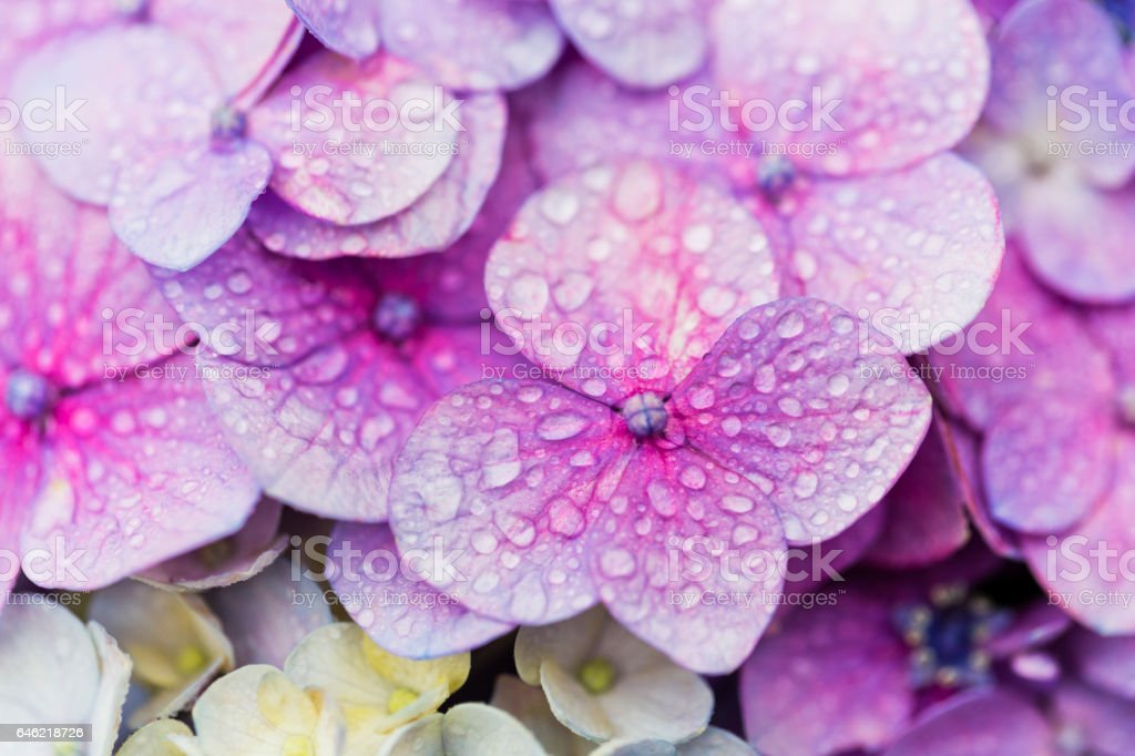 Close Up of Purple Hydrangea Flower with Drops stock photo