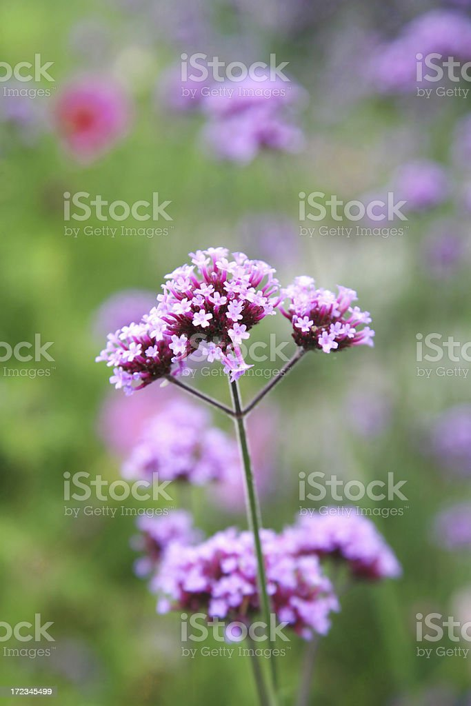 Close Up Of Purpletop Verbena Flower stock photo