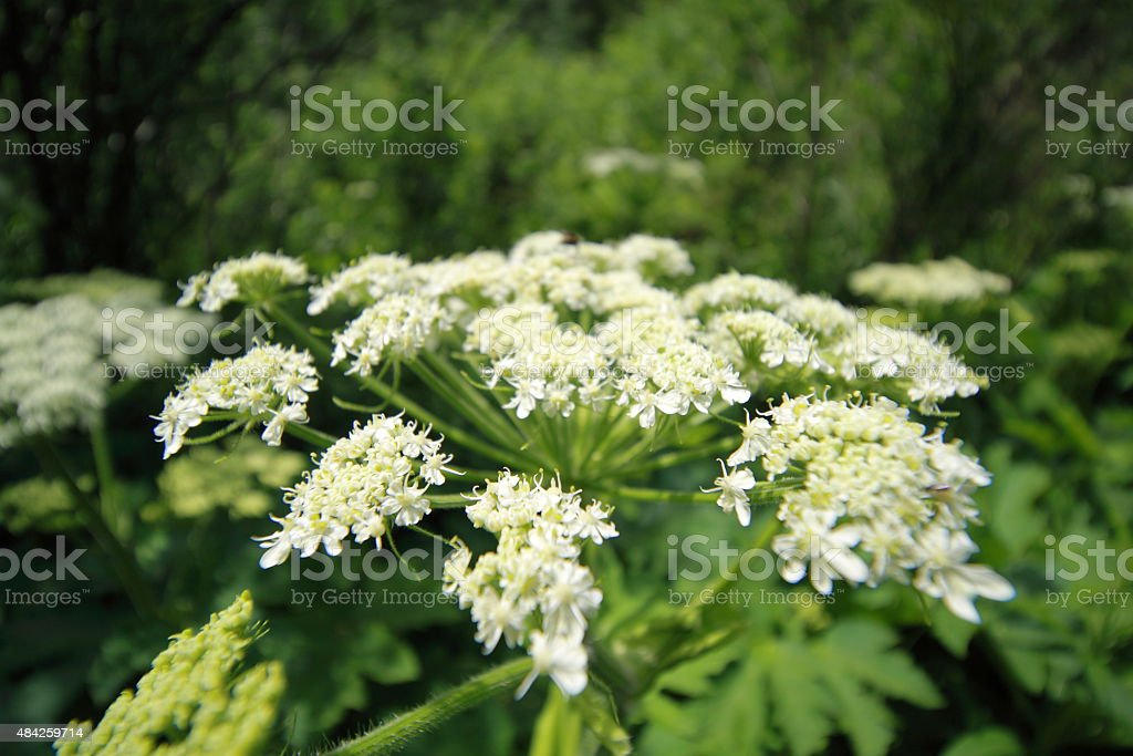 Close up of QUeen Anne's lace wildflower stock photo