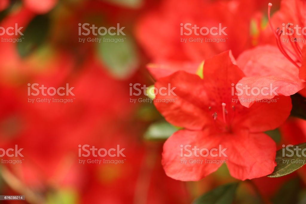 Close up of Red blooming summer flowers stock photo