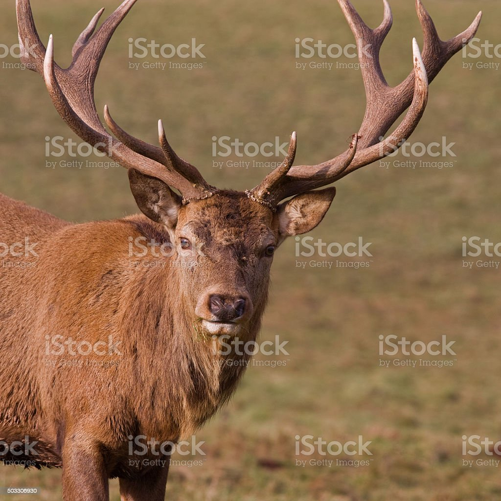 Close up of Red Deer stag with its winter antlers stock photo