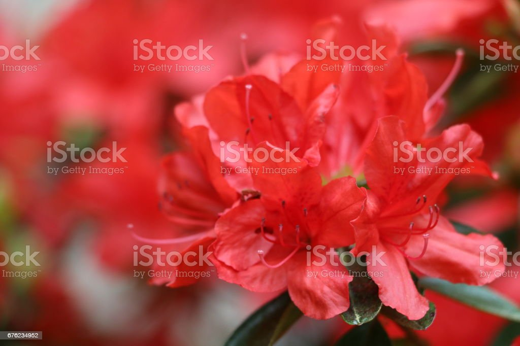 Close up of Red flower stock photo