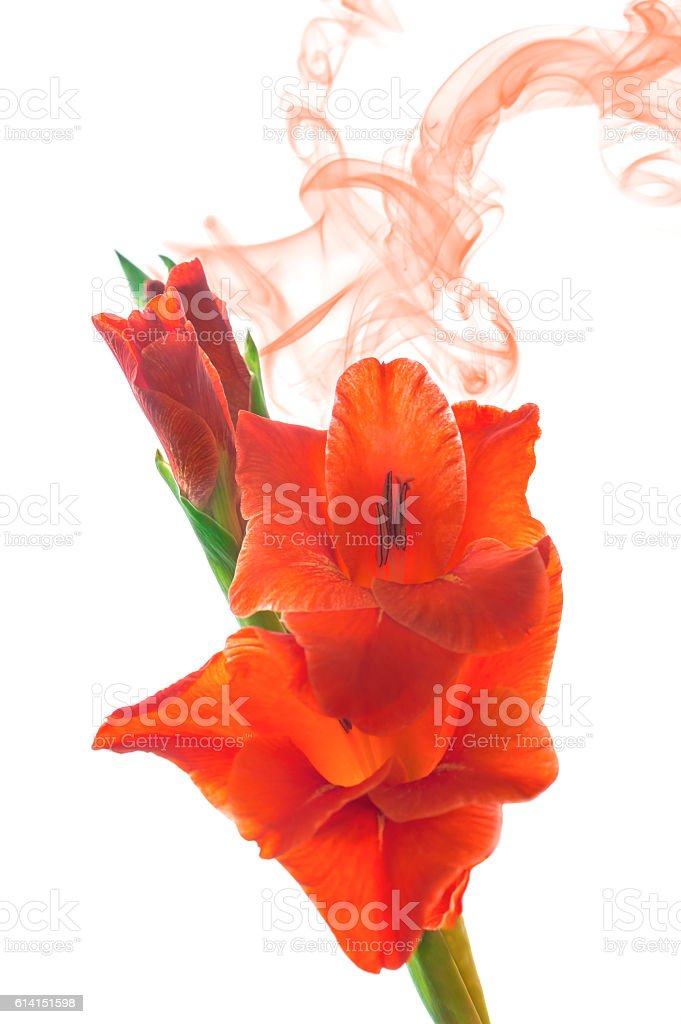 Close up of red gladiola blossoms isolated on white background. stock photo