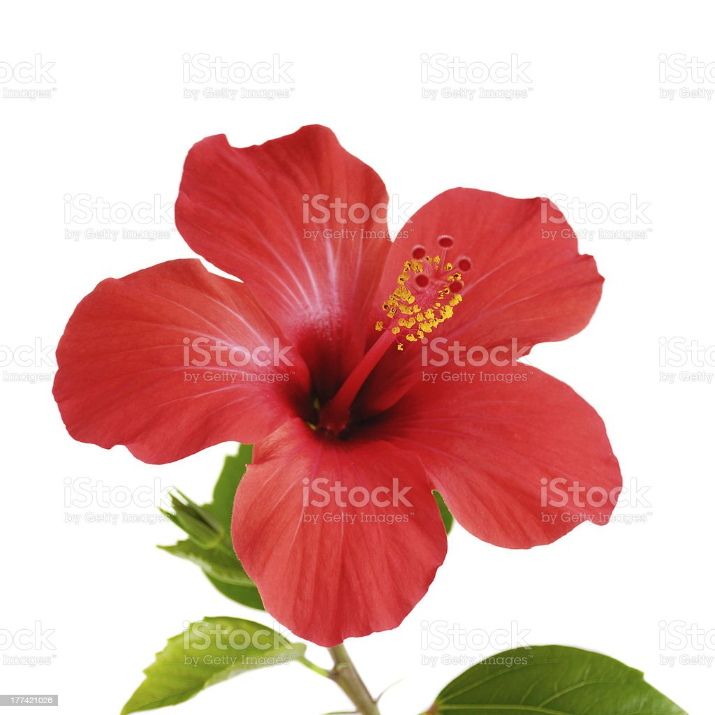 Close up of red hibiscus flower on white background stock photo