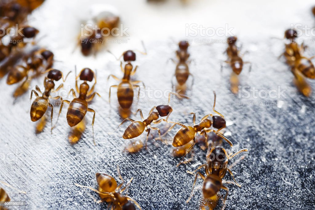 Close up of red imported fire ants (Solenopsis invicta) stock photo