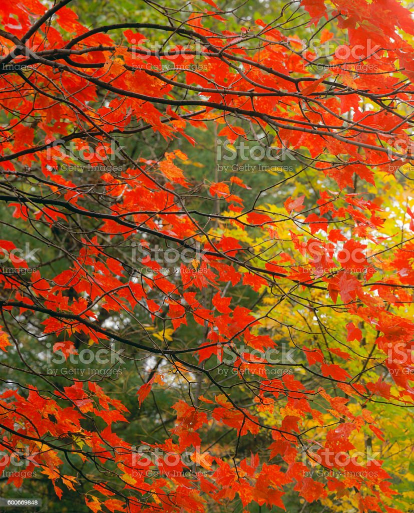 Close up of red maples branchs in autumn colors, VT stock photo