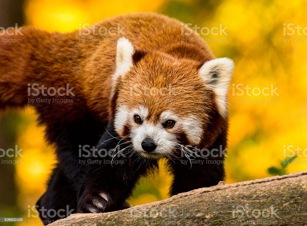 Close up of red panda on tree stock photo