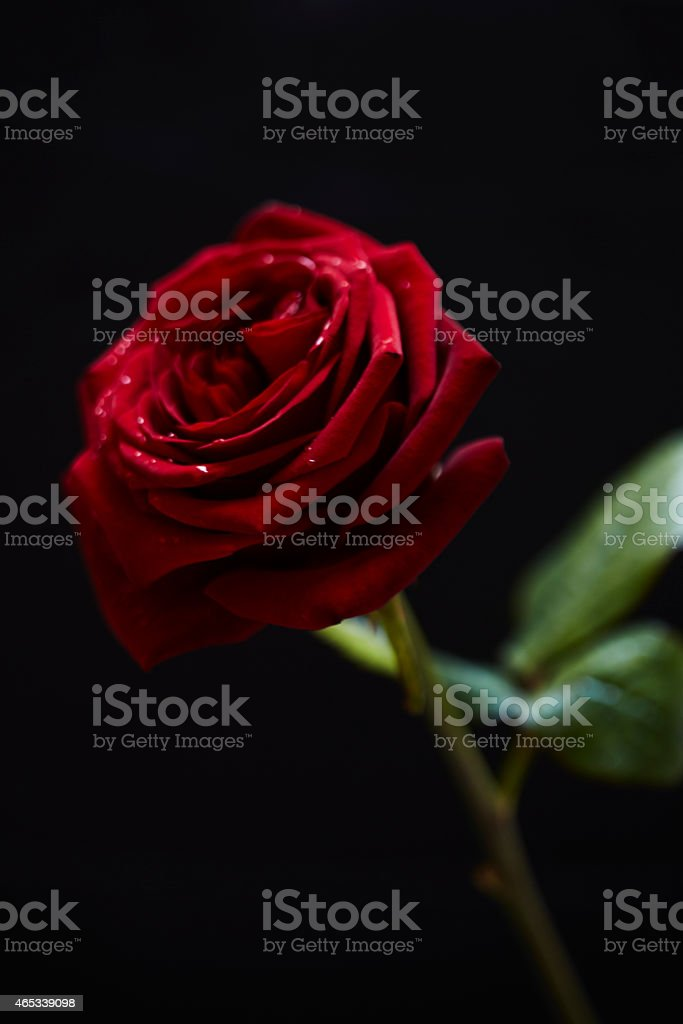 Close up of red rose isolated on black background stock photo