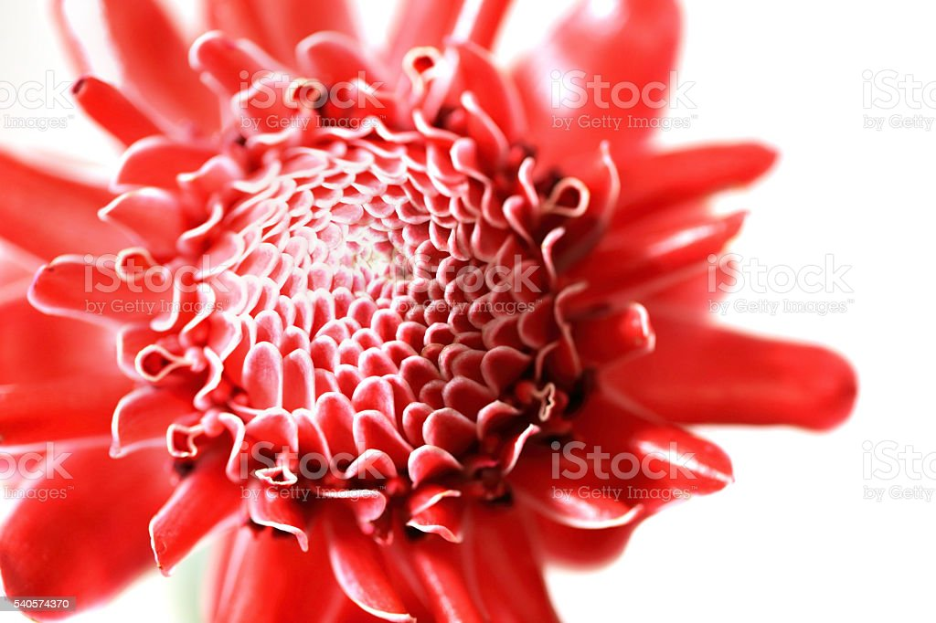Close up of red Torch Ginger flower petal. stock photo