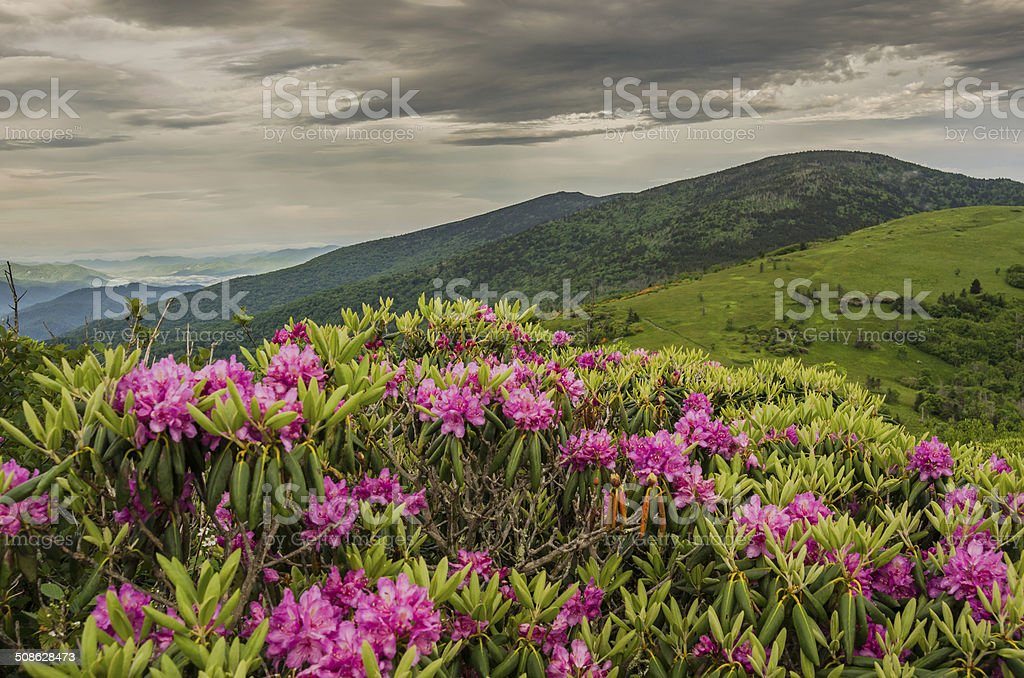 Close up of Rhododendron on Jane Bald stock photo
