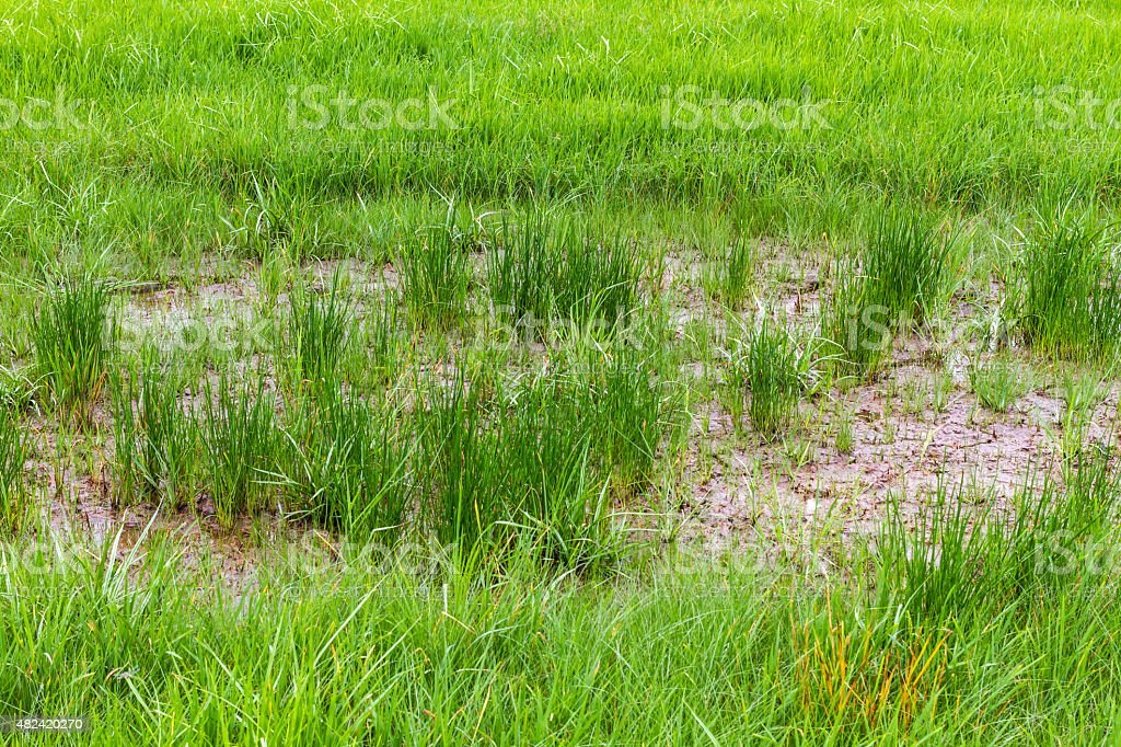Close up of Rice field stock photo