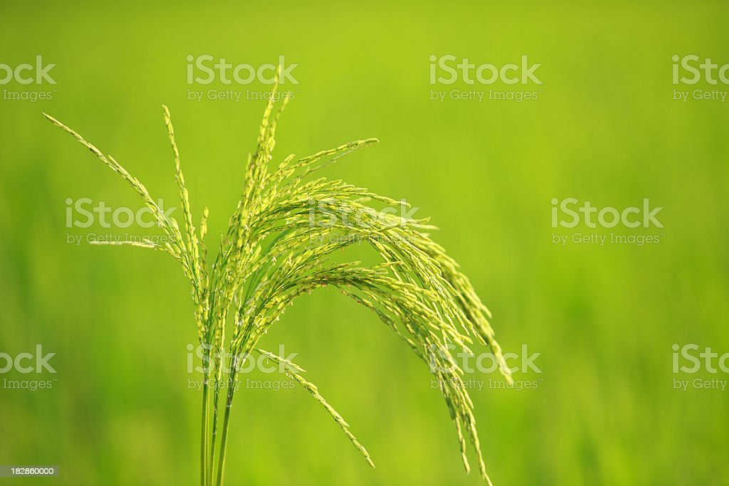 close up of rice in the field stock photo