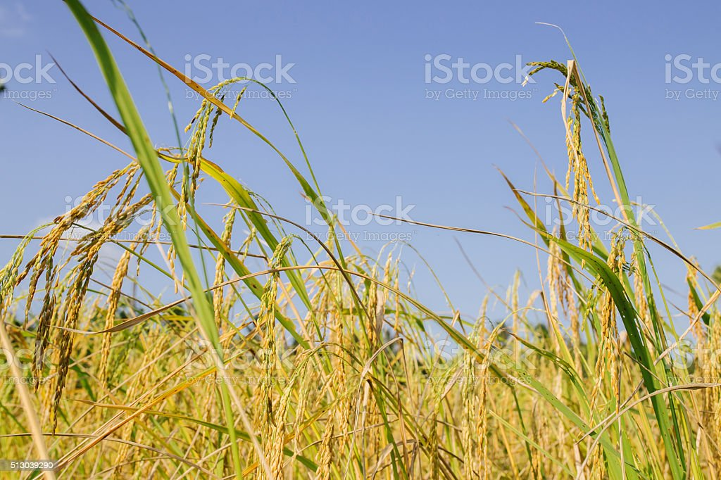 Close up of rice seed stock photo