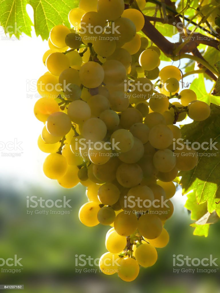 Close Up of Ripe Golden Grape Cluster on Vine stock photo